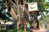 Tim Perantingan DKRTH Pantau Kondisi Pohon Di Surabaya Setiap Hari