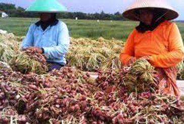 """Produksi Bawang Merah Jawa Timur Surplus. Hadi : """"Harga Di Pasaran Masih Normal !"""""""