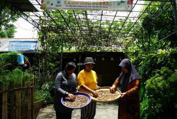 Surabaya bebas Virus Corona, Karena Warga Budidayakan Toga Empon – Empon
